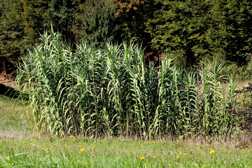 Giant reed or Arundo donax tall perennial cane densely growing plants with grey green sword like leaves surrounded with grass