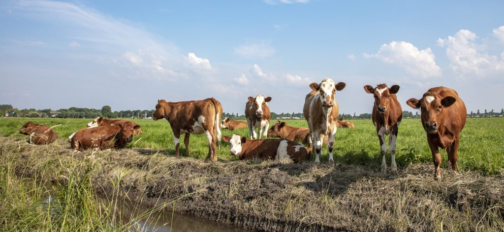 Group of young brown cows on the edge of a ditch, relaxed lying and standing in the field, a wide view